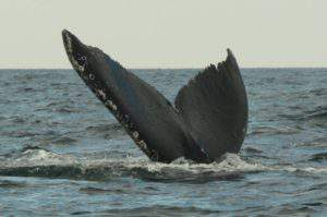Whale tail close up