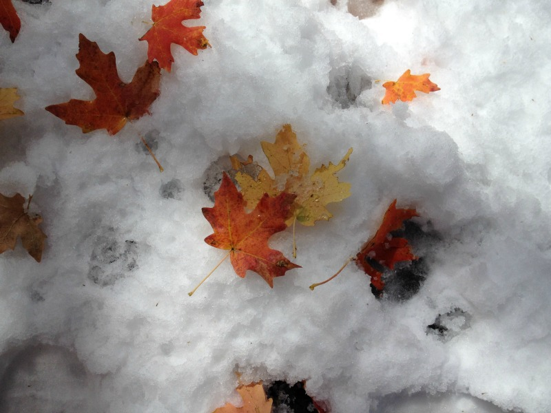 Fall leaves on snow
