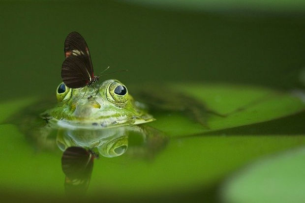 Brown butterfly on a green frog.